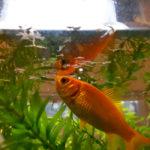 金魚のエサ 自然食 糸みみず、赤虫