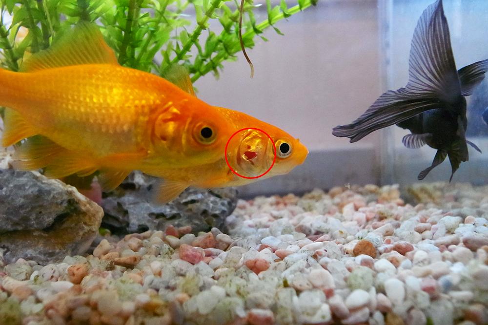 金魚 ワキン 病気
