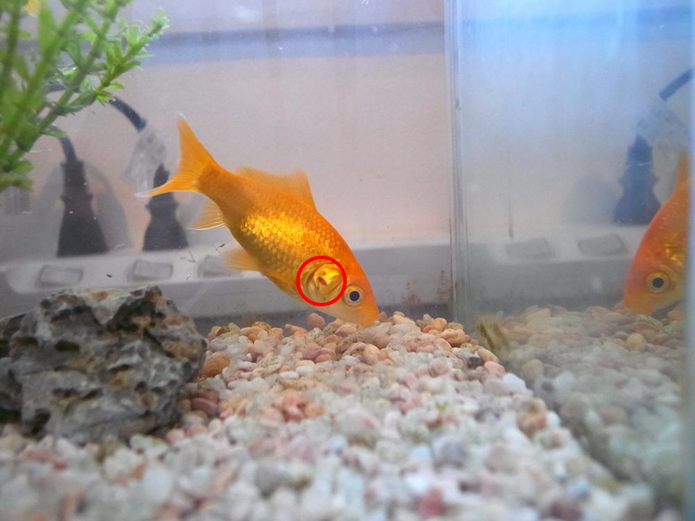 金魚 赤い点 血のにじみ
