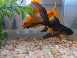 出目金 金魚