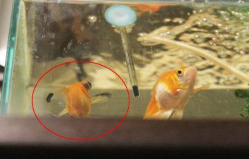 デメキン 出目金 金魚