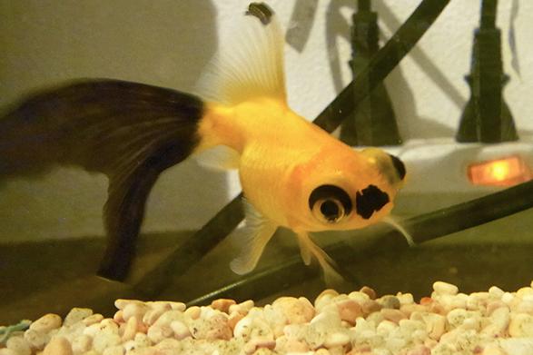 金魚 人面魚