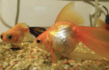 金魚 背びれが折れ曲がっている出目金