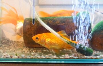 金魚 病気
